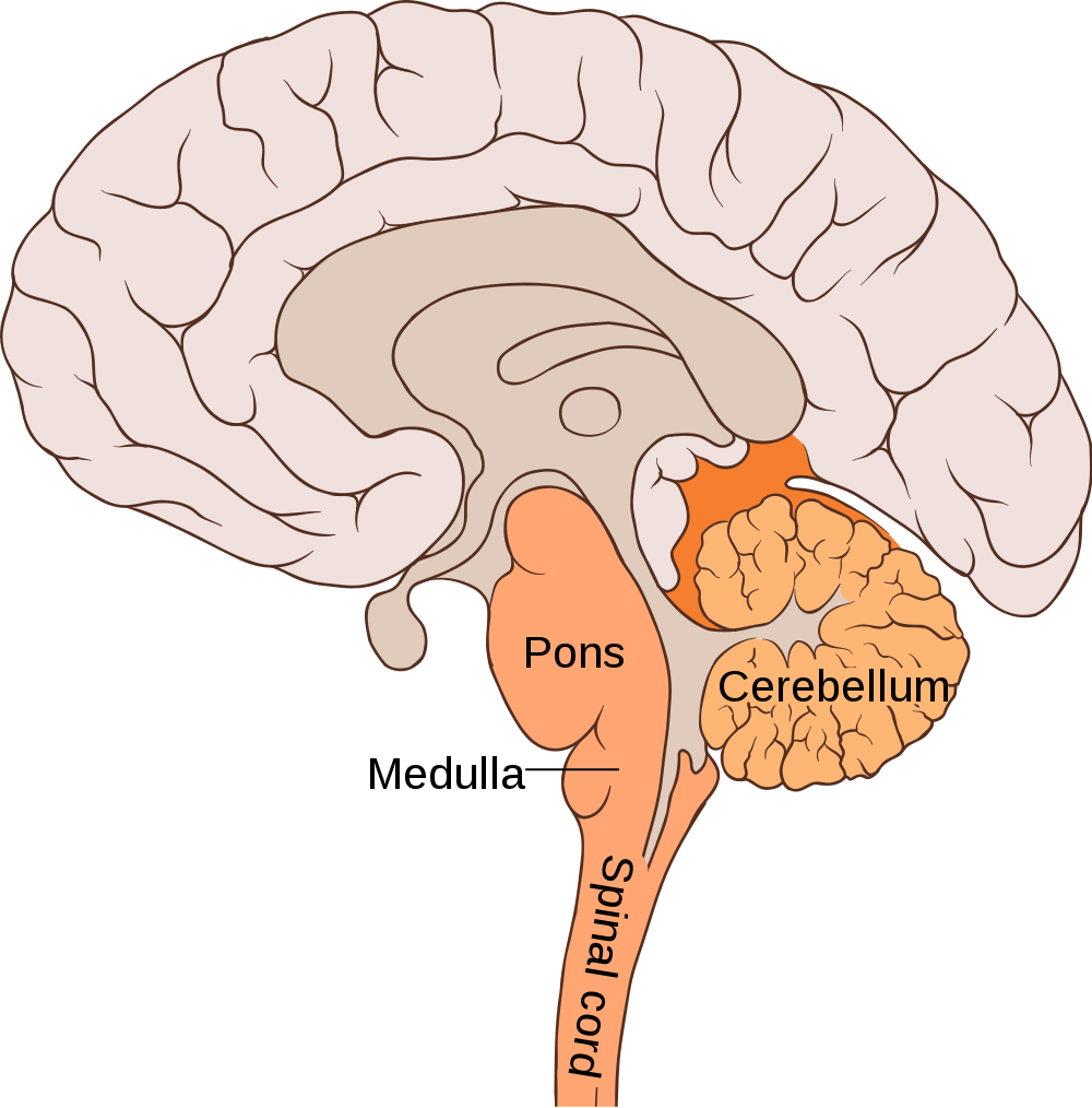 1000px-brain_bulbar_region.png
